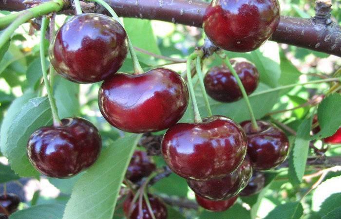 Вишня призвание: описание сорта, фото, отзывы, опылители для вишни