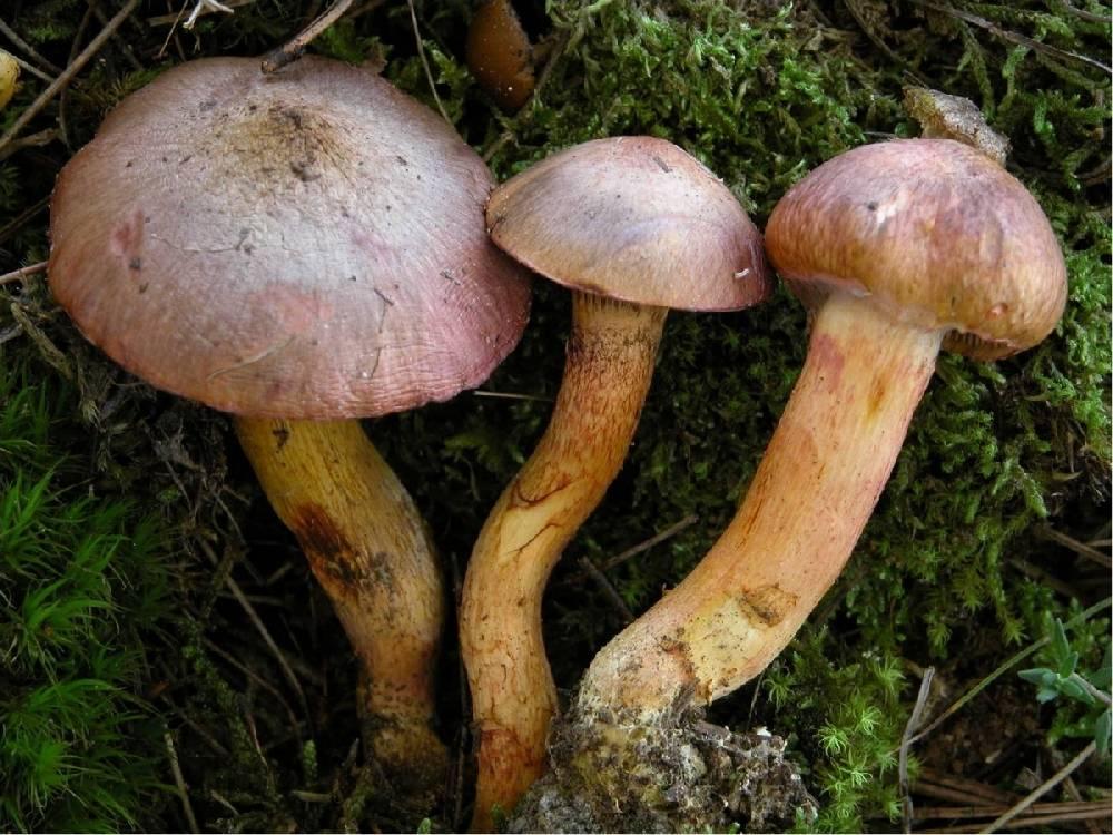 Описание гриба мокруха и как он выглядит (+25 фото)?