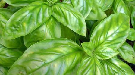 Как сажать базилик и когда: выращивание в открытом грунте, посадка семян, уход и подкормка, что садить после, сбор урожая многолика
