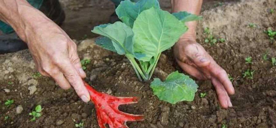 Нужно ли окучивать помидоры в теплице и после высадки в грунт