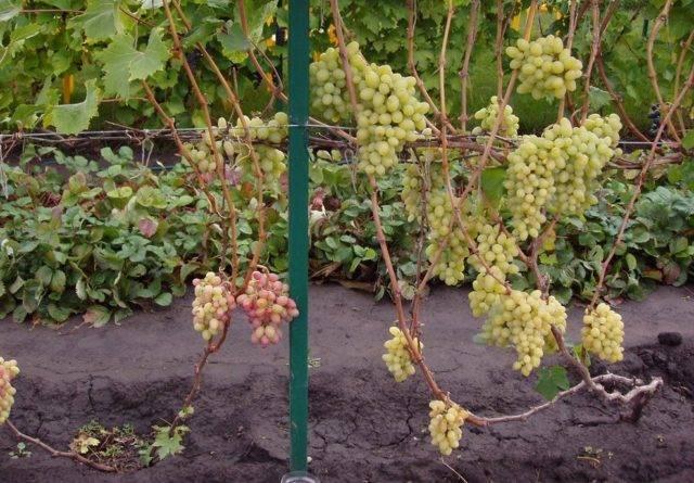 Виноград академик: описание сорта и правила выращивания + отзывы