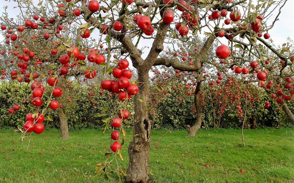 Формирующая обрезка яблони — от саженца до взрослого дерева. схемы — ботаничка.ru