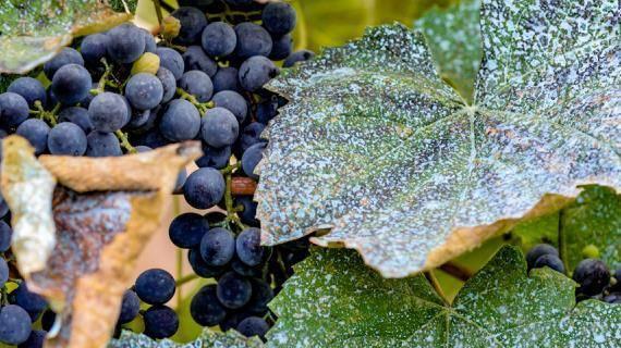 Болезни винограда и их лечение, а также борьба с вредителями и меры профилактики