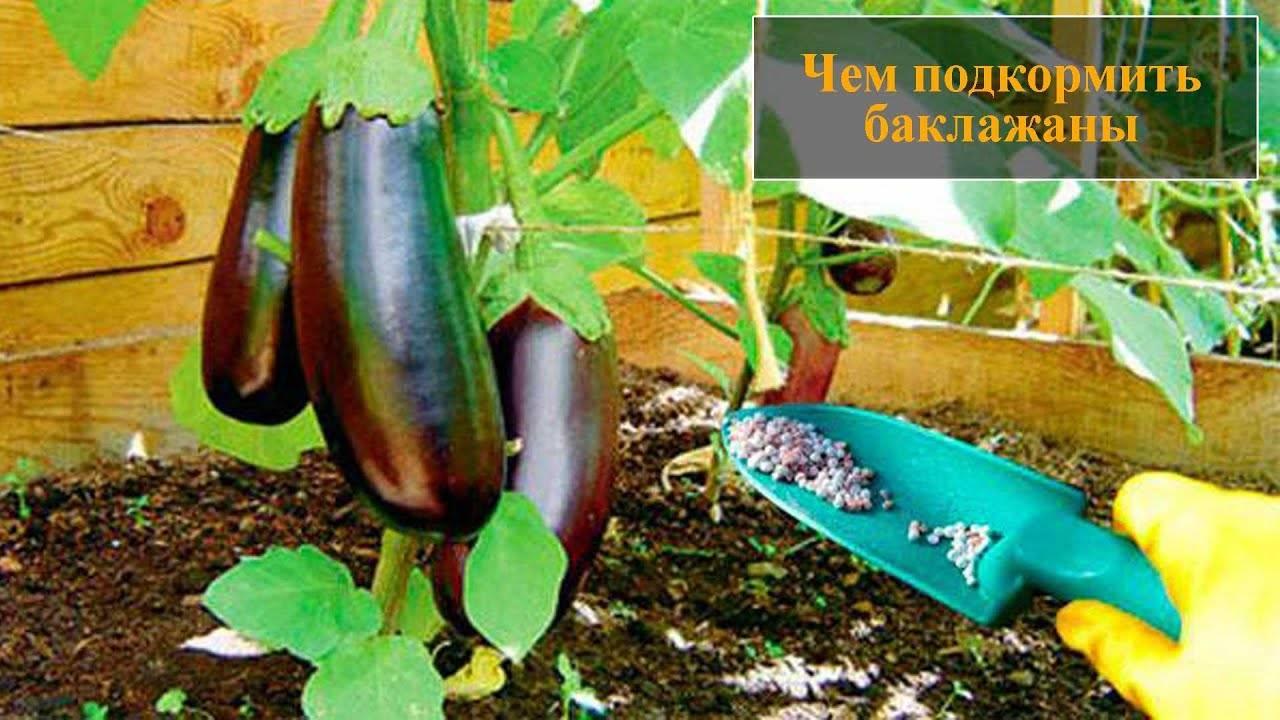 Подкормка рассады баклажанов в домашних условиях от всходов до высадки