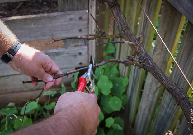 Проверенный и результативный сорт винограда «краса никополя»