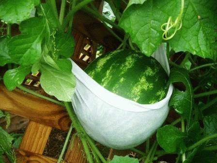 Арбуз: выращивание из семян на огороде, сорта