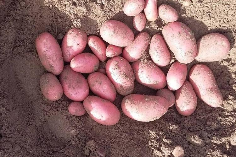 Сорт картофеля «лабелла» – описание и фото