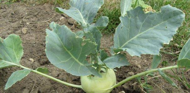 Капуста кольраби: выращивание рассады и уход за ней в домашних условиях