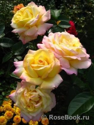 Роза глория дей: особенности сорта, посадка и 4 этапа ухода