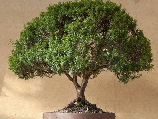 Мирт (миртовое дерево): уход в домашних условиях, пересадка и размножение, фото