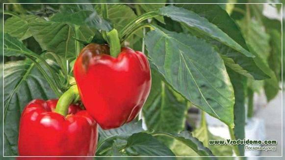 Перец (сладкий и горький) – как правильно и когда сажать в 2021 году?