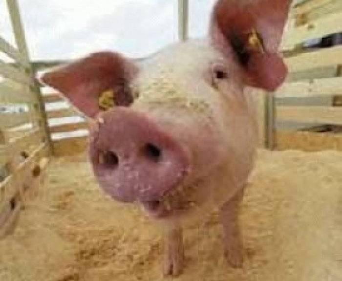 Что едят свиньи в домашних условиях