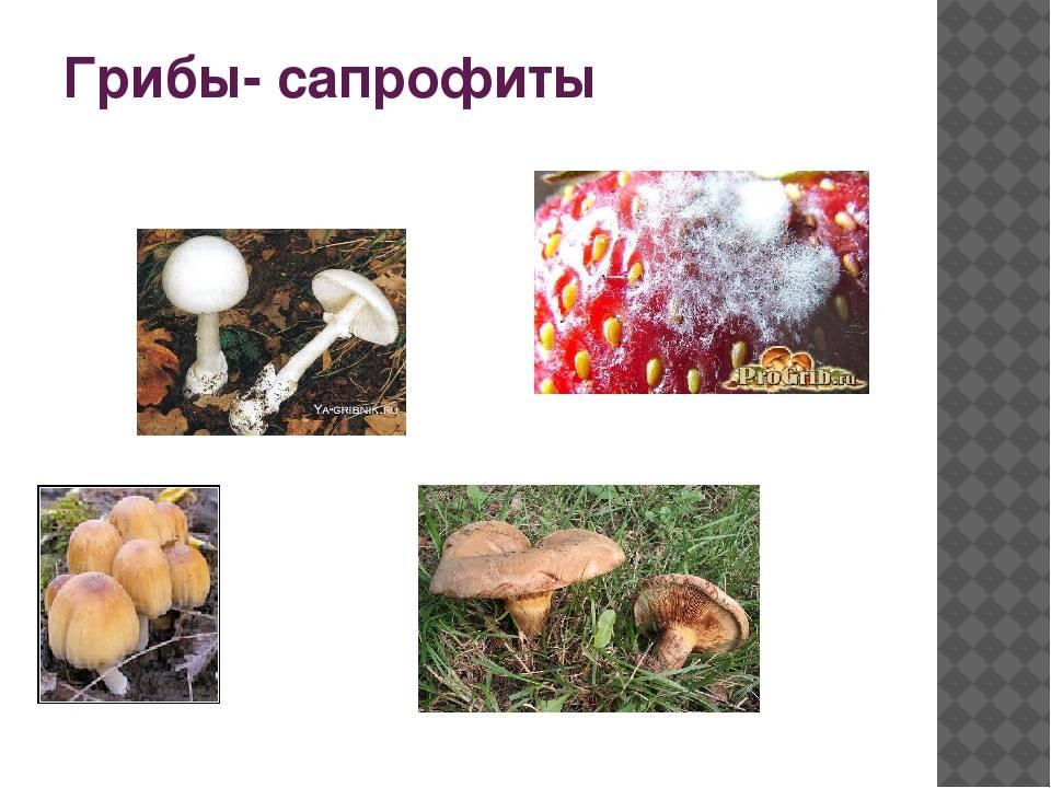 Общая характеристика царства грибы. отдел слизевики и отдел грибы   биология