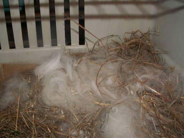Почему крольчиха рвет пух, но не делает гнездо