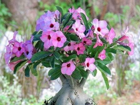 Удивительное африканское мини-дерево – адениум