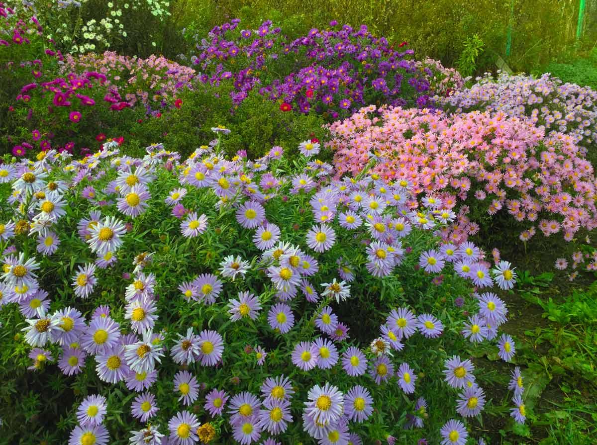 Астра многолетняя — кустарники