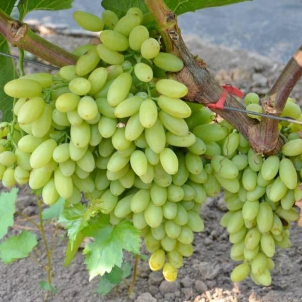 Особенности винограда без косточек