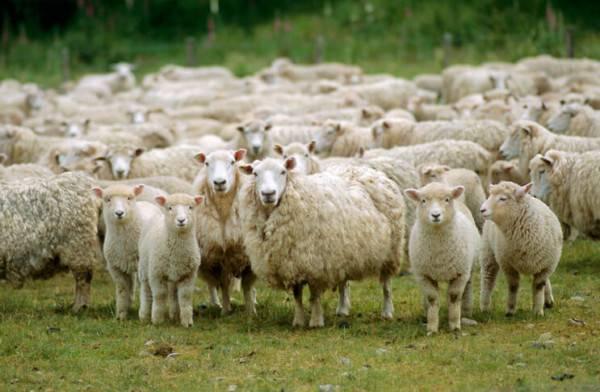 Как начинающему предпринимателю открыть бизнес по разведению баранов на мясо?