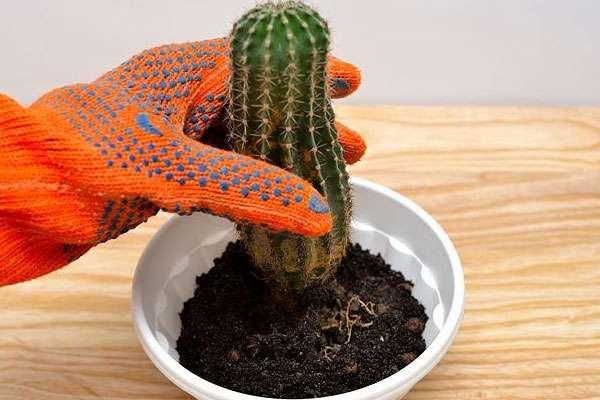 Как правильно ухаживать за кактусом дома