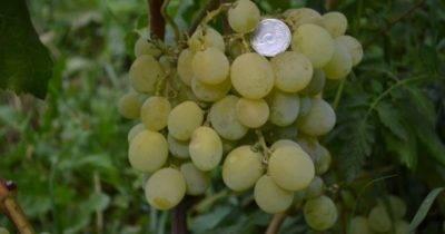 Описание винограда блестящий, отзывы садоводов и особенности выращивания сорта
