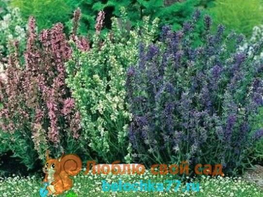 Иссоп лекарственный - особенности выращивания на даче