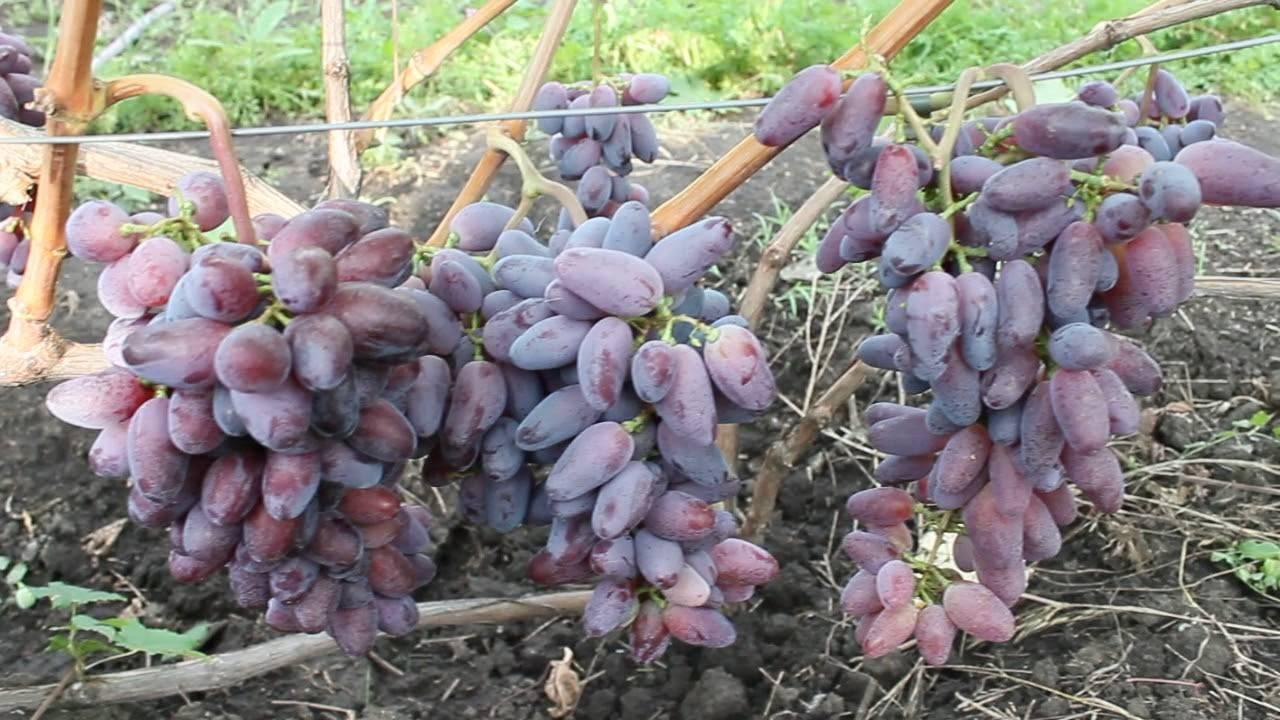 Виноград байконур: характеристика сорта, выращивание, фото, видео
