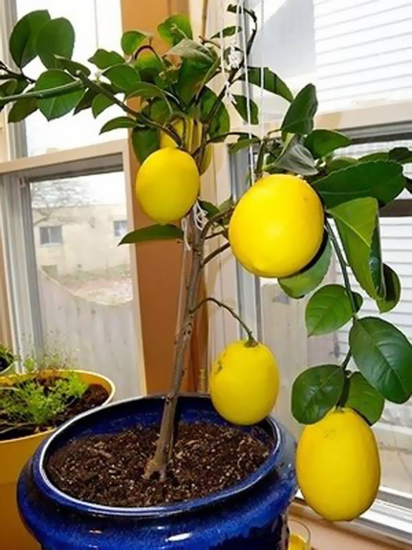 Необычные сорта лимона