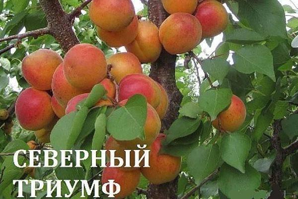 Абрикос триумф северный: правила выращивания в средней полосе россии