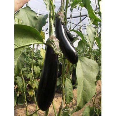 Баклажан валентина f1: характеристика сорта, как подготовить и посадить семена, выращивание рассады, правила ухода, отзывы