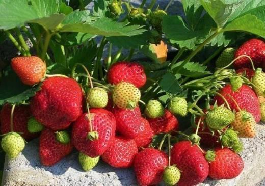 Клубника кама: описание сорта и характеристики, выращивание и уход с фото