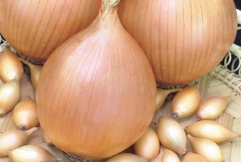 Озимый лук: советы по выращиванию и посадке, сроки созревания