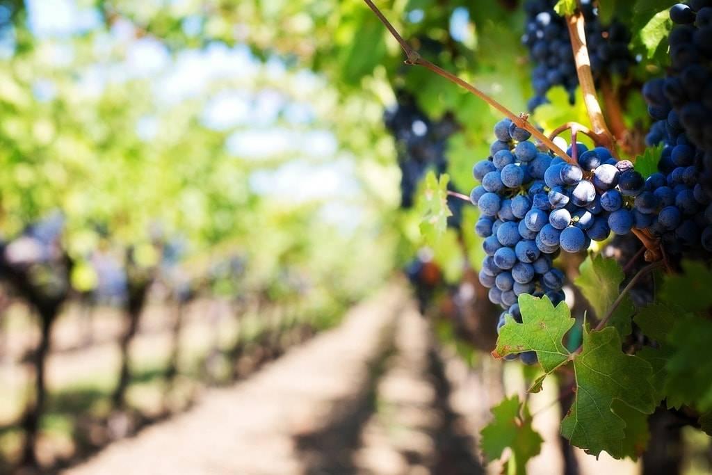 Сорт винограда ливадийский – фото описание и обзор