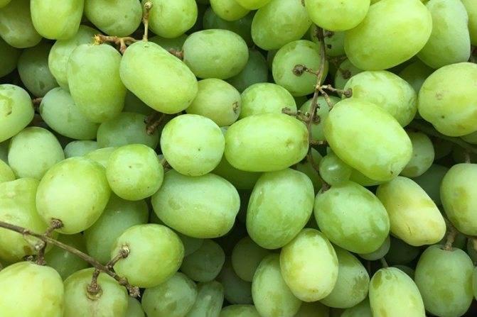✅ виноград феномен: описание сорта, фото, отзывы - cvetochki-rostov-na-donu.ru