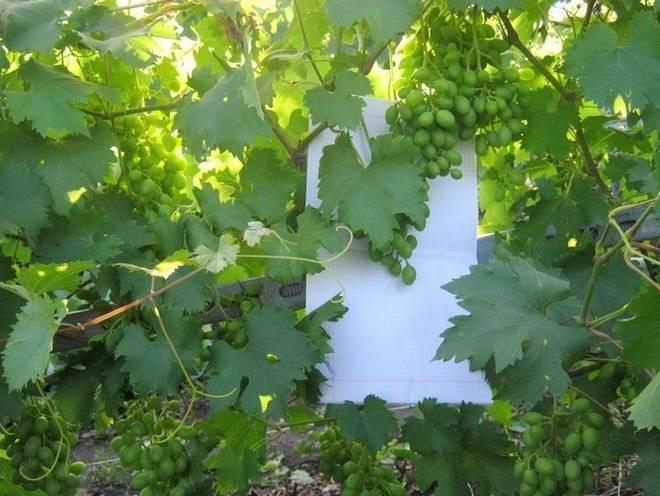 Виноград низина – урожайный гибрид