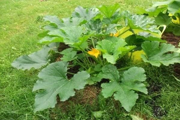 Почему желтеют листья у кабачков?. причины, по которым листья кабачков желтеют
