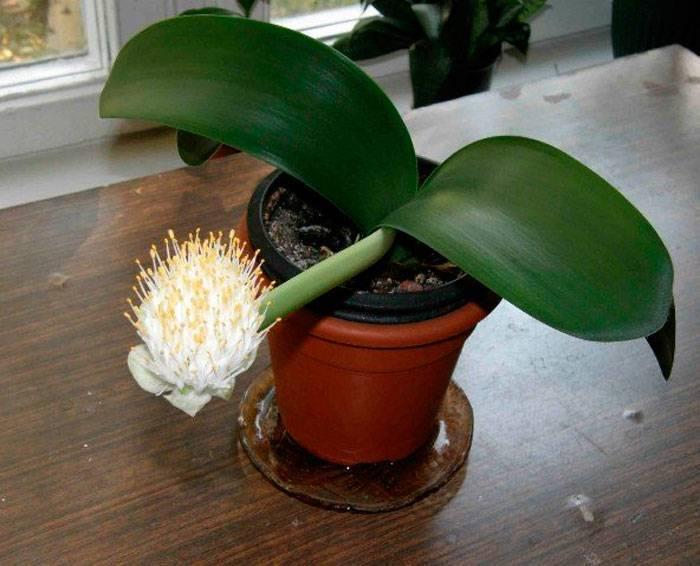 Гемантус: уход в домашних условиях, цветение и размножение, фото