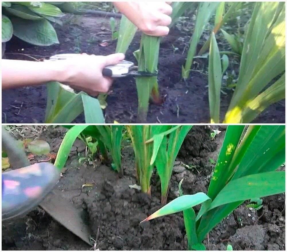 Гладиолусы хранение на зиму в коробках - обсыпаю карбофосом, получаю 100% результат! | красивый дом и сад