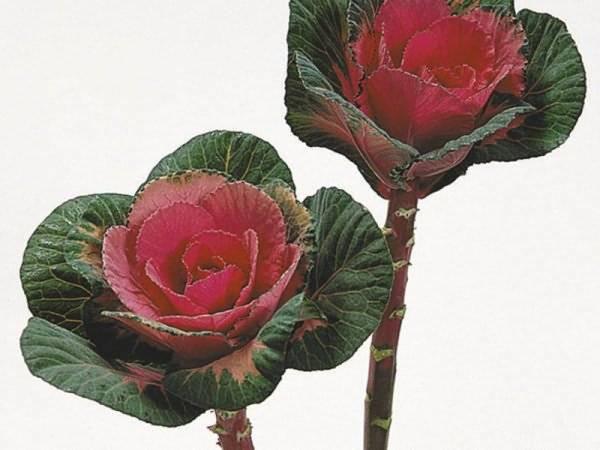 Необычные сорта декоративной капусты
