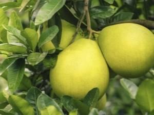 Свити фрукт калорийность в 1 штуке без кожуры и на 100 грамм, бжу и гликемический индекс