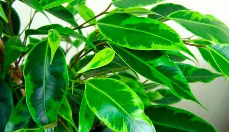 Фикус бенджамина сбрасывает листья: что делать, как спасти