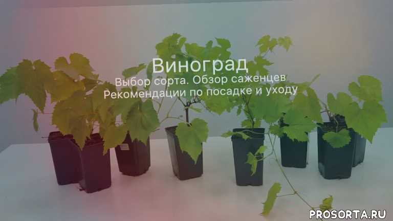 Бизнес на винограде — выращивание технического винограда, виноградарство