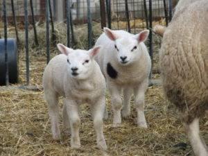 Породы овец (56 фото): описание мясных пород баранов. куйбышевская и иль-де-франс, тексель и ташлинская, карачаевская и прекос породы овец