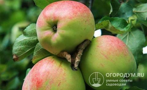 Яблоня антоновка: описание, опылители