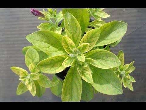 Петуния: профилактика болезней и белого налета, причина липкости, сохнет растение