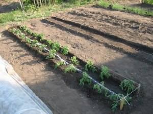 Высаживаем рассаду помидор в теплицу