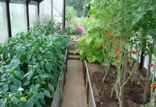 Правила посадки перцев и помидор в одной теплице