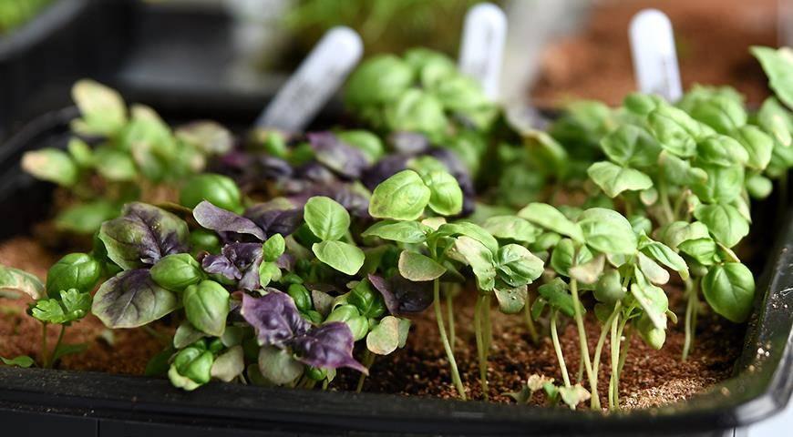 Выращивание базилика из семян: посадка и уход в открытом грунте