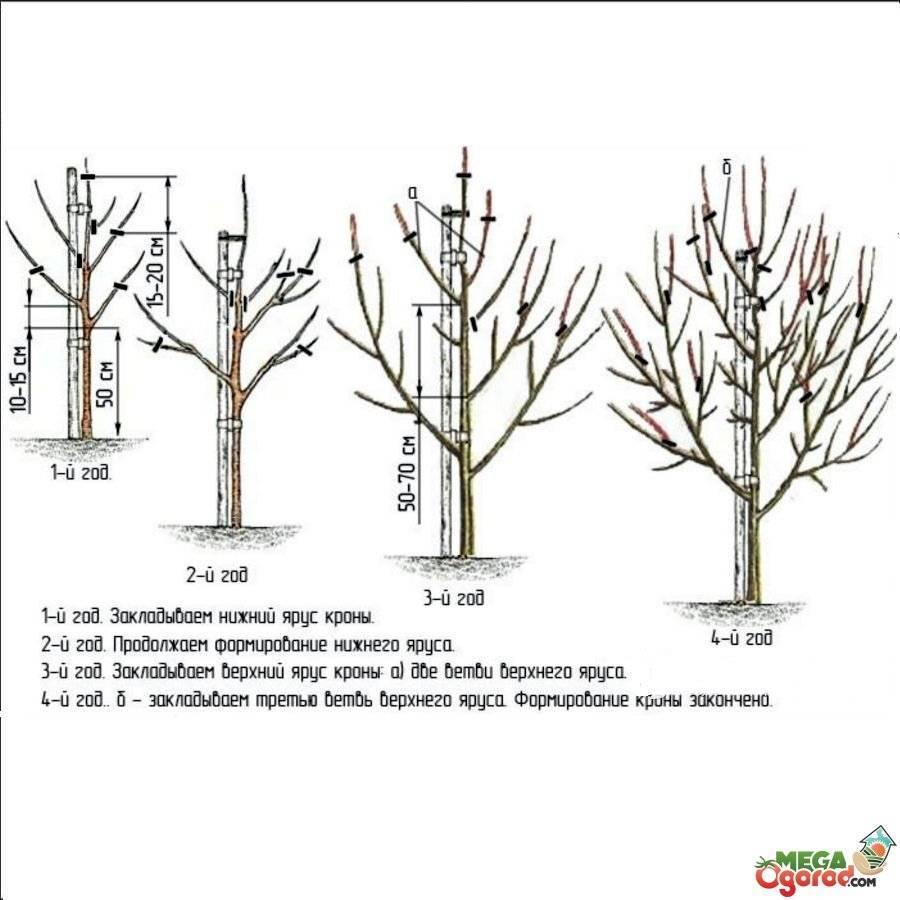 Правила и особенности обрезки колоновидной груши осенью для начинающих