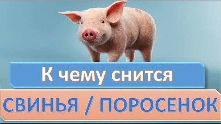 К чему снится свинья - значение сна свинья по соннику