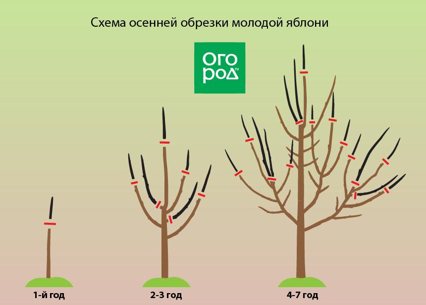 Обрезка абрикоса осенью, весной и летом, схема, видео